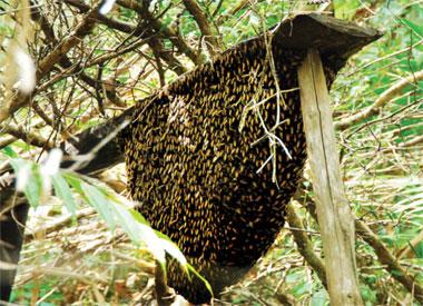 Nghề gác kèo ong ở vùng U Minh hạ